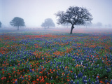 View of Texas Paintbrush and Bluebonnets Flowers at Dawn  Hill Country  Texas  USA