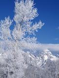 Cottonwood Tree in Winter  Grand Teton National Park in Morning  Wyoming  USA