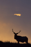 Sunset  Tule Elk Wildlife  Point Reyes National Seashore  California  USA