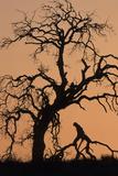 Oak Tree  Sunset  Pinnacles National Monument  California  USA