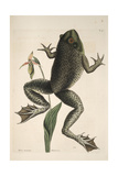 Smithsonian Libraries: The Bull Frog by Mark Catesby