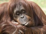 National Zoological Park: Orangutan