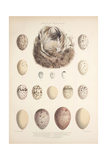 Smimthsonian Libraries: Nest of Acrulocephalus Familiaris