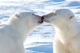 Kissing Polar Bears II