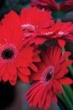 Red Gerbera Daisies 1