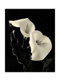 Botanical Elegance Calla IV