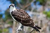 Osprey  Yucatan  Mexico