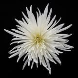 Chrysanthemum I