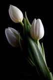 Tulips IV