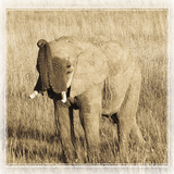 Young Africa Elephant