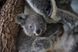 A Federally Threatened Koala Joey Snuggles Against Its Mother