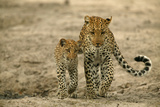 Leopard and Her Cub Walking Together