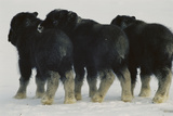 Three Musk-ox Calves  Separated From Their Mothers During Flight