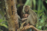 Mother and Baby Monkey Sit On a Tree Limb Another Peers From Behind