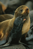 A Northern Fur Seal and Pu