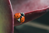 A Seven-spotted Ladybird  Coccinella Septempunctata  On an Ice Plant