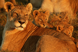 African Lioness  Panthera Leo  and Her Cubs Resting