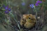 An Attwater's Prairie Chick (Tympanuchus Cupido Attwateri)