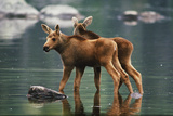 Moose Twins (Alces Alces Americana) Sprout From the Shallow Waters of a Pond