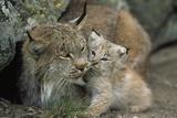 A Captive Female Lynx (Felis Lynx) and Her Young Cub