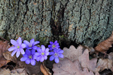 Liverwort Flowers  Hepatica Nobilis  At the Base of a Tree Trunk