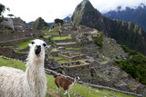 The Ruins At Machu Picchu and a Couple of Llamas