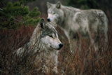 Gray Wolves in Red Willows