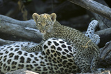 A Leopard  Cub  Panthera Pardus  Prepares to Nurse