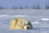 A Polar Bear Cub Plays with It's Resting Mother Ursus Maritimu
