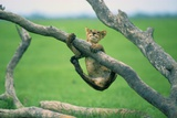 A Young Lion Cub Tries to Hold On to a Tree Branch