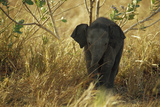 An Endangered Sri Lankan Elephant Calf Stands in Shady Grass