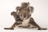 A Federally Threatened Koala with Her Offspring, One of Which Is Adopted Papier Photo par Joel Sartore