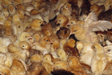 One Week Old Free Range Chickens Under a Heat Lamp