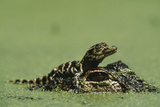 Baby Alligator On Mother's Head Among Duckweed