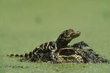 Baby Alligator On Mother's Head Among Duckweed Papier Photo par Chris Johns