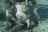 A Manatee Family  Mother and Two Calves  Possibly Twins  Come Up for Air