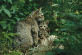 Wildcat with Young  Bayerischer Wald National Park  Germany