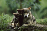 Pups of Captive Mexican Gray Wolves