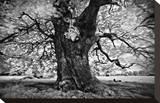 Portrait of a Tree  Study 3