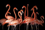 A Group of American Flamingos  Phoenicopterus Ruber