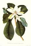 Magnolia Folis Oblongis