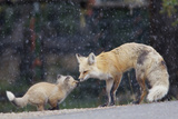 A Mother Red Fox  Vulpes Vulpes  and Kit Nuzzle Each Other