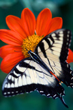 Close Up of a Swallowtail Butterfly on a Red Zinnia Flower