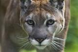Portrait of a Female Cougar, Felis Concolor Papier Photo par Karine Aigner