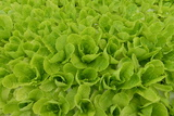 Lettuce Grown Hydroponically