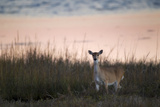 Portrait of a White-tailed Deer on the Gulf Coast at Sunrise