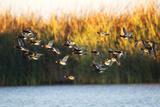 A Flock of Redhead Ducks  Aythya Americana  Flying Over Water