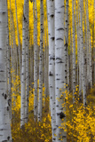 A Forest of Aspen Trees with Golden Yellow Leaves in Autumn Papier Photo par Robbie George