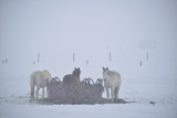 A Group of Horses Eating Hay in a Snowstorm