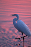 Portrait of a Great Egret  Ardea Alba  Walking the Shore at Sunset